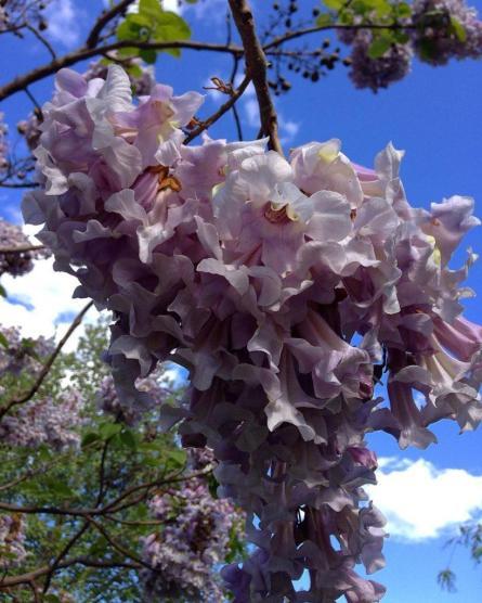 цветы павловния paulownia tomentosa питомник Павловния - Кубань, г. Краснодар paulowniakuban.ru
