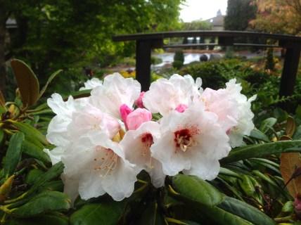 Extremely uncommon Rhododendron Hokkaido; yet another yakushimanum hybrid.