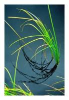 Bright Reeds Framed