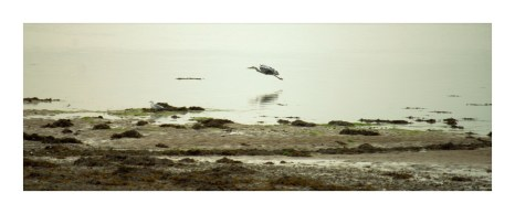 Heron Flight Framed