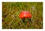 red shroom