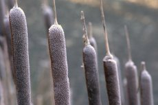 bulrush-rows