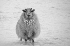 sheep-bw