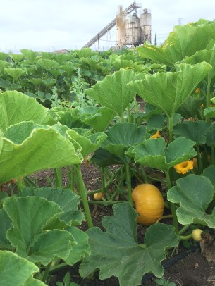First winter squash planting is still flowering!