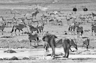 A male lion commands the attention of an amphitheatre of thirsty animals who watch his every move as he quenches his thirst and surveys the sweltering landscape.