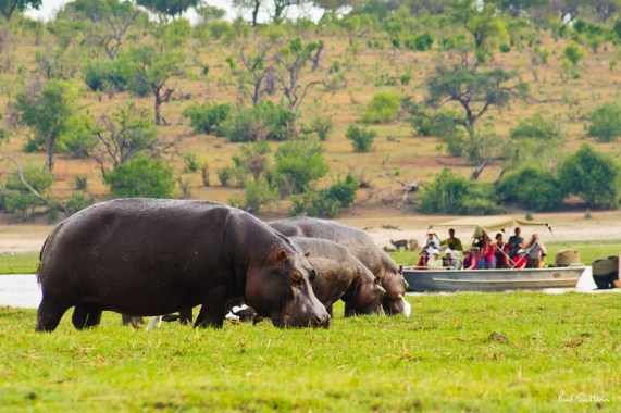 A heard of hippos graze on Kasikili Island, in the Chobe River, as tourists watch from a small river boat.