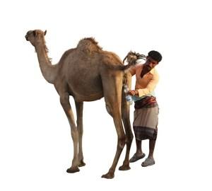 camelpiss