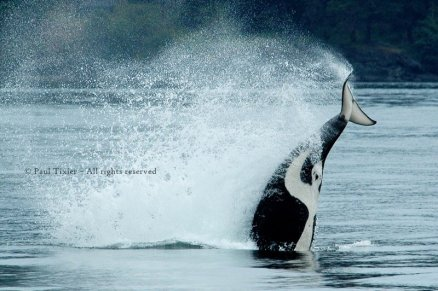 Killer whale, British Columbia