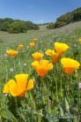 California Poppies, Watsonville, CA