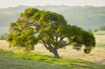 Coast Live Oak in Morning Light, Watsonville, CA