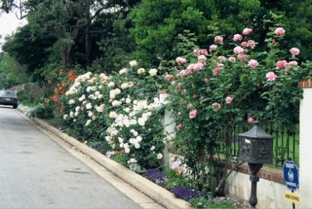 Training Climbing Roses On A Trellis Paul Zimmerman Roses