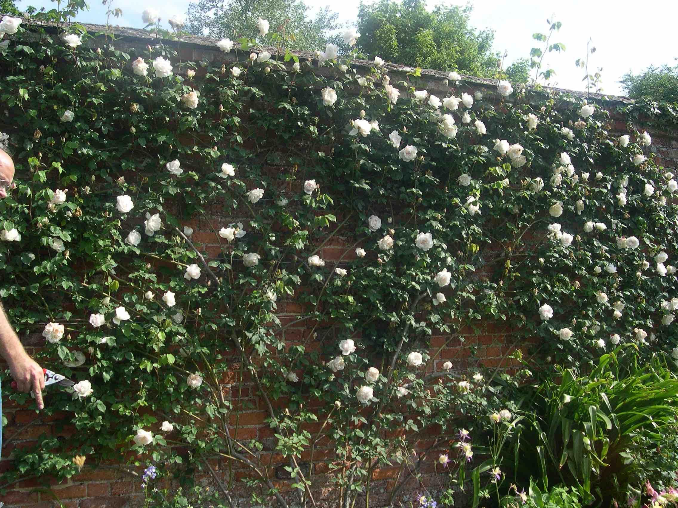 Pruning Climbing Roses Paul Zimmerman Roses