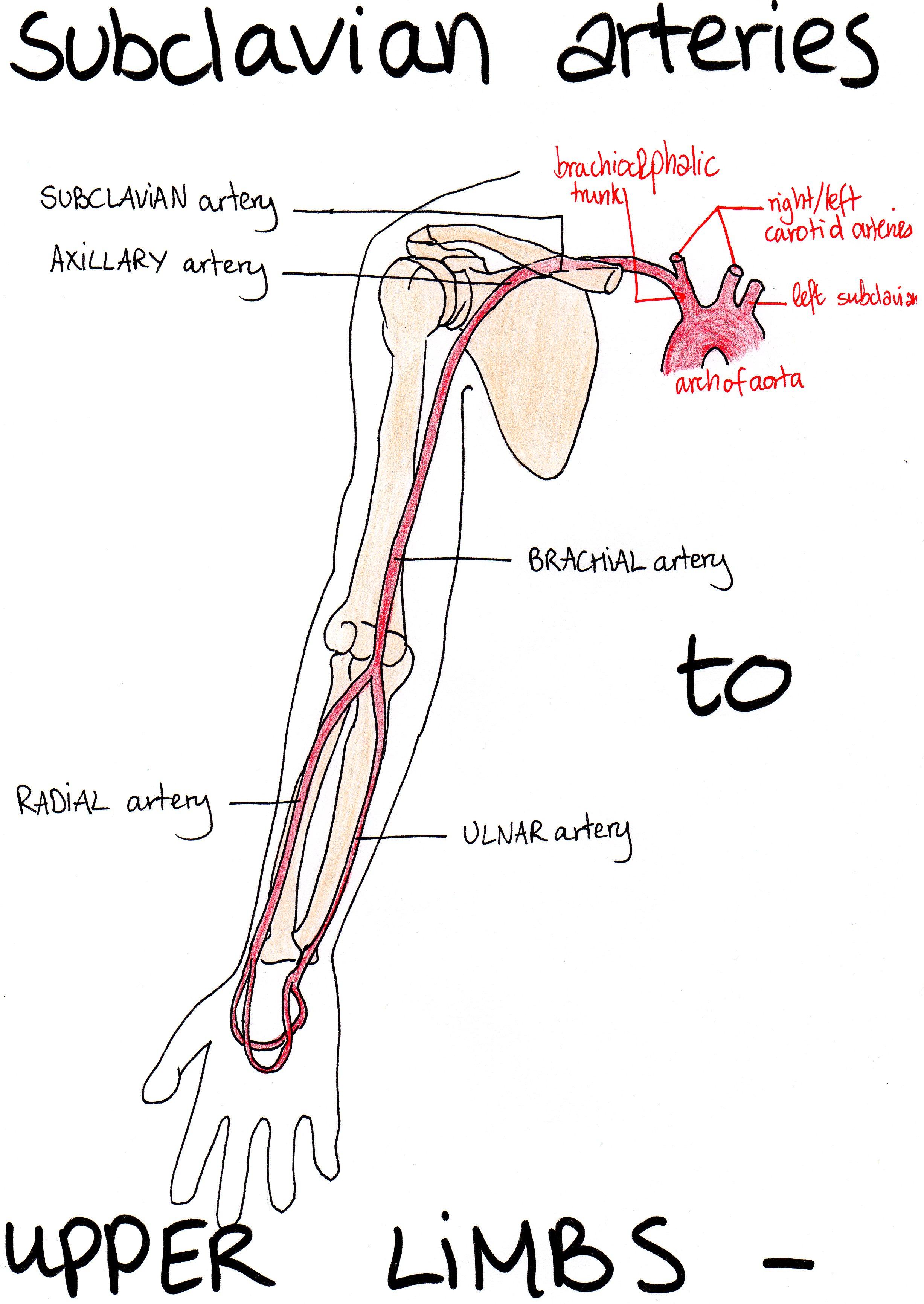 Aorta Pau S Medical Biology Notes
