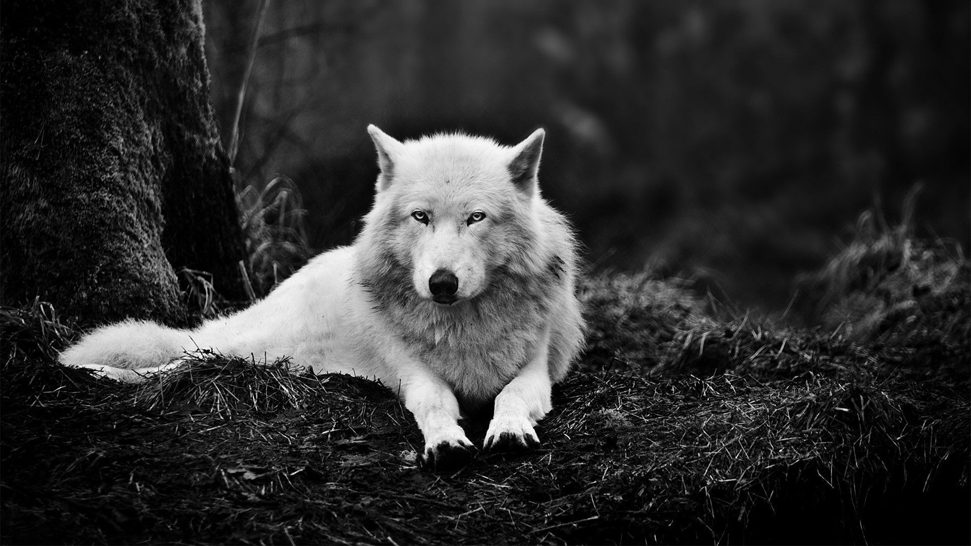 wolf wallpapers 79 background