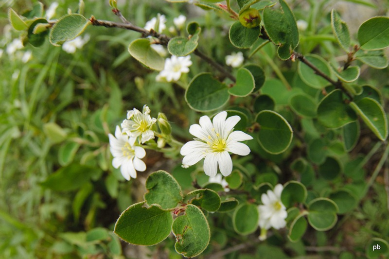 Цветы Бештау