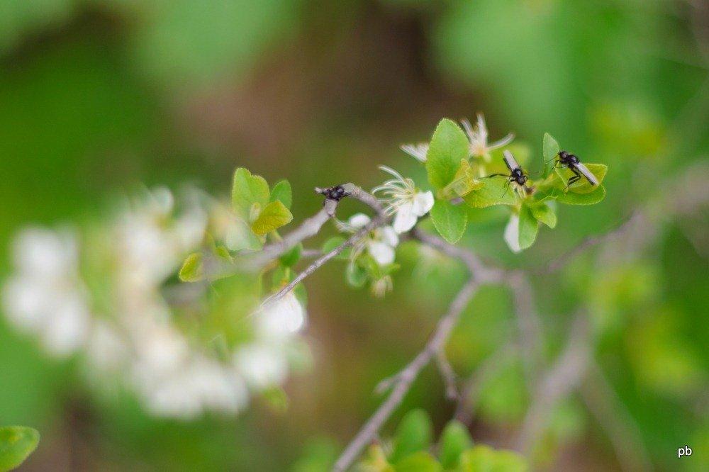 Тёрен весной с мухами