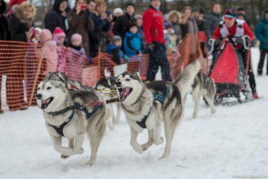 Сестрорецкий спринт - фото собачьих упряжек