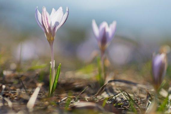 Крокусы на Машуке весной