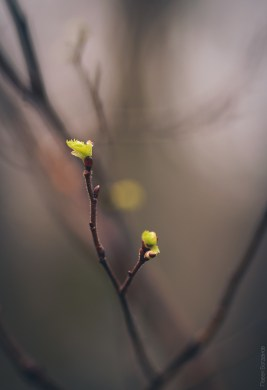 Весенние почки