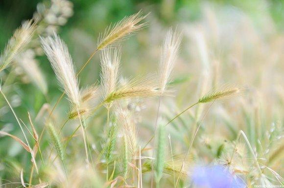 Колоски, сфотографированы на Nikon d90