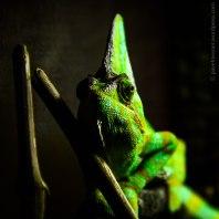 Chameleon, a master of disguise (Plzeň | duben 2012 )