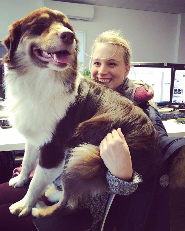 """MMCAGENTUR @MMCAGENTUR Jan 26 """"Wie ich bin zu groß?"""" Theo unser ewiger Agenturwelpe. 😅😅🐶 #agencylife #officedog #agencydog #dog #dogcontent"""
