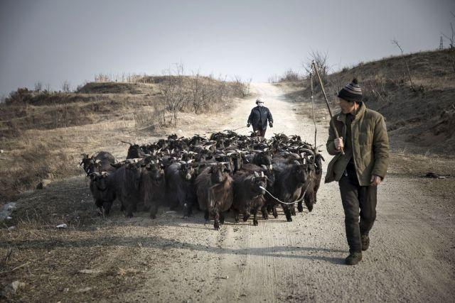 Pastiri nateruju koze u tor u Penglaju, provincija Šandong, Kina, 16. februar (Qilai Shen/Bloomberg)