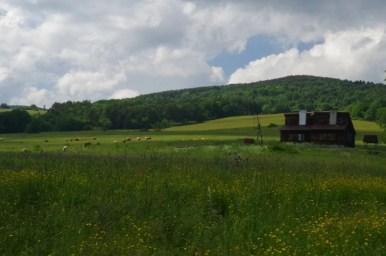 chata elektryków na polanach surowicznych w beskidzie niskim, widoczne stado krów