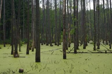mroczny i bagienny las w okolicy wilczego szańca na mazurach