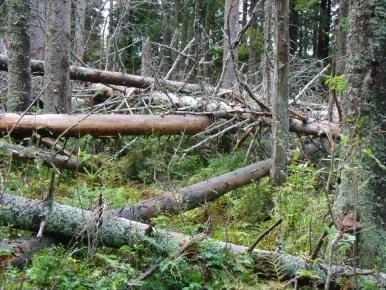 powalone drzewa przy perci przyrodników w babiogórskim parku narodowym