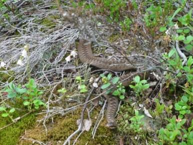 żmija zygzakowata w chibinach w rosji na półwyspie kolskim, za kołem podbiegunowym