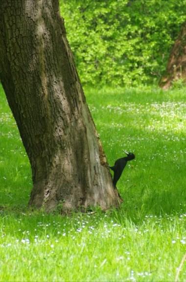 dzięcioł w parku janka krala w bratysławie w słowacji