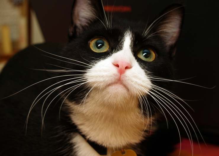The cat with the longest whiskers in the world measures nineteen centimetres (seven and a half inches) in length | 10 Fascinating Feline Facts