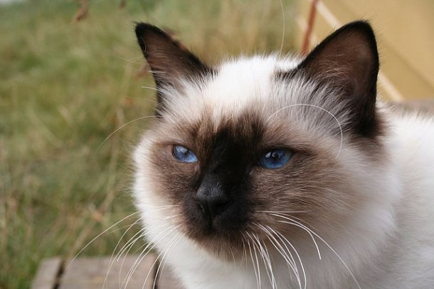 Birman cats are inquisitive by nature - their curiosity means they like to explore new places and situations and they occasionally get themselves into trouble.