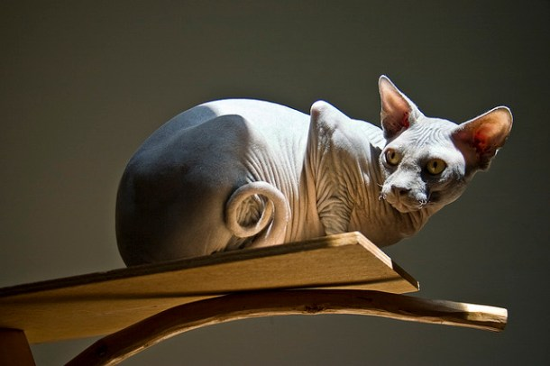 Sphynx cats have skin like warm chamois leather. The Sphynx will often sleep under the bed covers with you to keep warm – your very own soft suede hot water bottle.