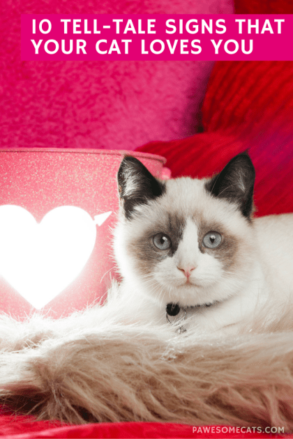Cats can be a little stand-offish which makes them harder to read. So, how do you know if your cat loves you? | 10 Tell Tale Signs That Your Cat Loves You
