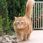 Train Your Cat to Walk on a Leash in Five Easy Steps