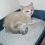 Kitten in litter box