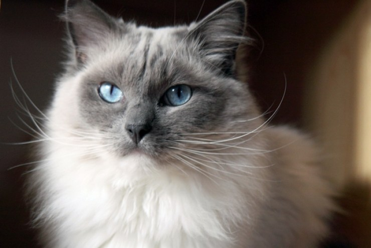 Cat breeds with the personality traits that make them a good choice for apartment dwellers with busy lifestyles | Best Cat Breeds for Apartment Living