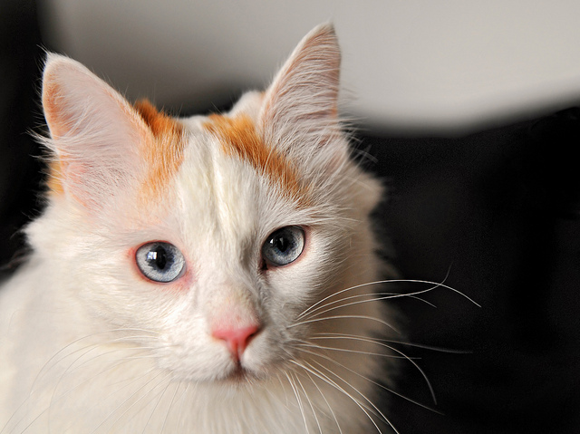 Turkish Van cats originate from the Lake Van region in the mountains of eastern Turkey and are known as the 'swimming cat' in popular culture.