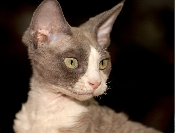 Devon Rex cats are great with children, perhaps because they tend to remain a 'kitten at heart' throughout most of their lives.