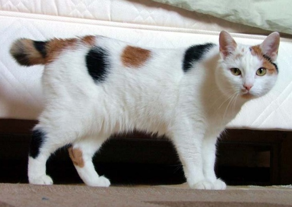 Did you know? True Manx cats have no tail and are known as 'rumpies', those with a short stub of a tail are known as 'stumpies', and those with a long although not full length tail are referred to as 'longies'.
