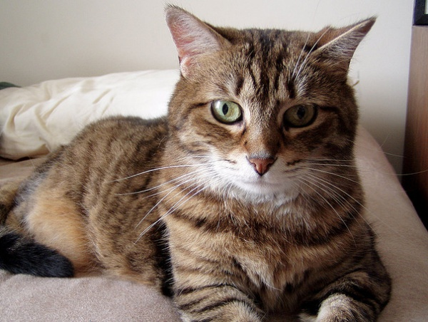 declawed cats for adoption near me