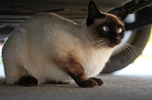 Under the car, under the hood or under the wheel arch, are very common and dangerous places for cats to hide  | Why Do Cats Hide? Dangerous Cat Hiding Places