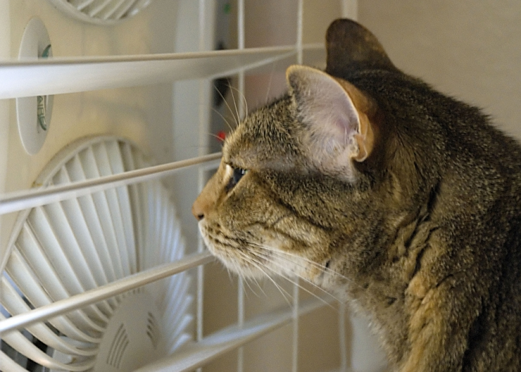 With long hot days and soaring summer temperatures comes the risk of dehydration, heat stroke and sunburn | How to Keep Your Cat Cool This Summer