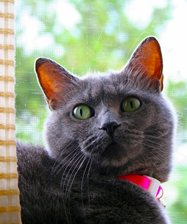 """Originally from Thailand, the Korat is a natural breed which has been around for centuries. Popularly known as the """"good luck cat' they are often given in pairs as a gift to newlyweds, to ensure a strong and long lasting relationship."""