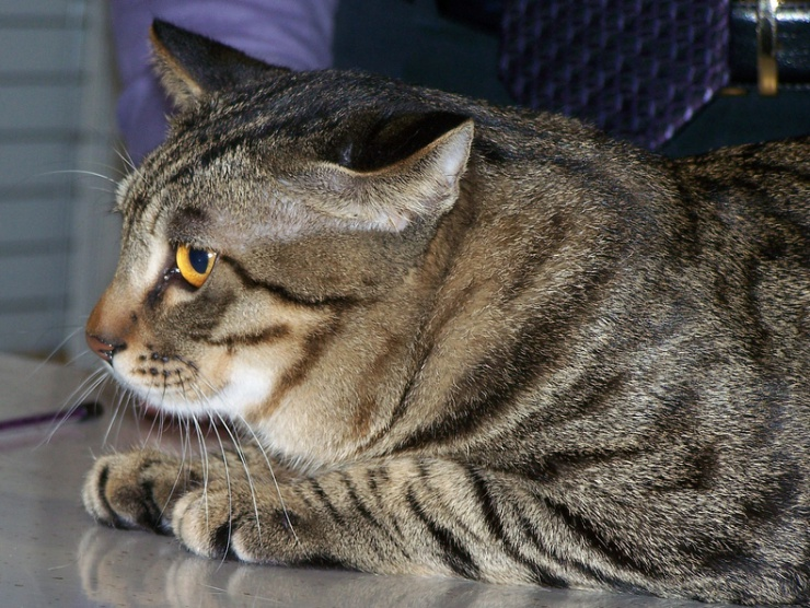 Chinese Li Hua Cat Breed Information And Personality Pawesome Cats