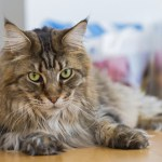 Breed Specific Nutrition for Your Cat