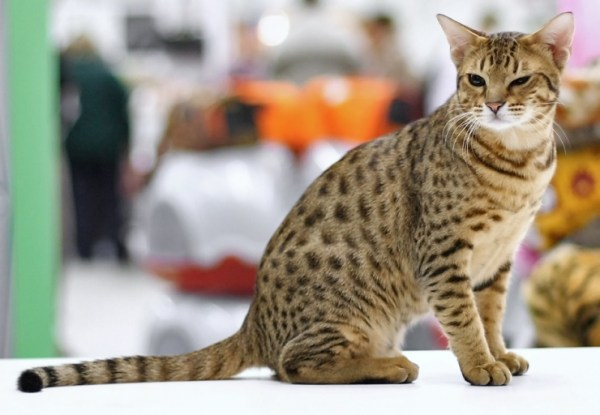 We look at breeds who've inherited the spots, stripes or more elaborate coat patterns of their wild cousins | Domestic Cats in Wild Coats