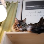 Best Cat Breeds for Apartment Living